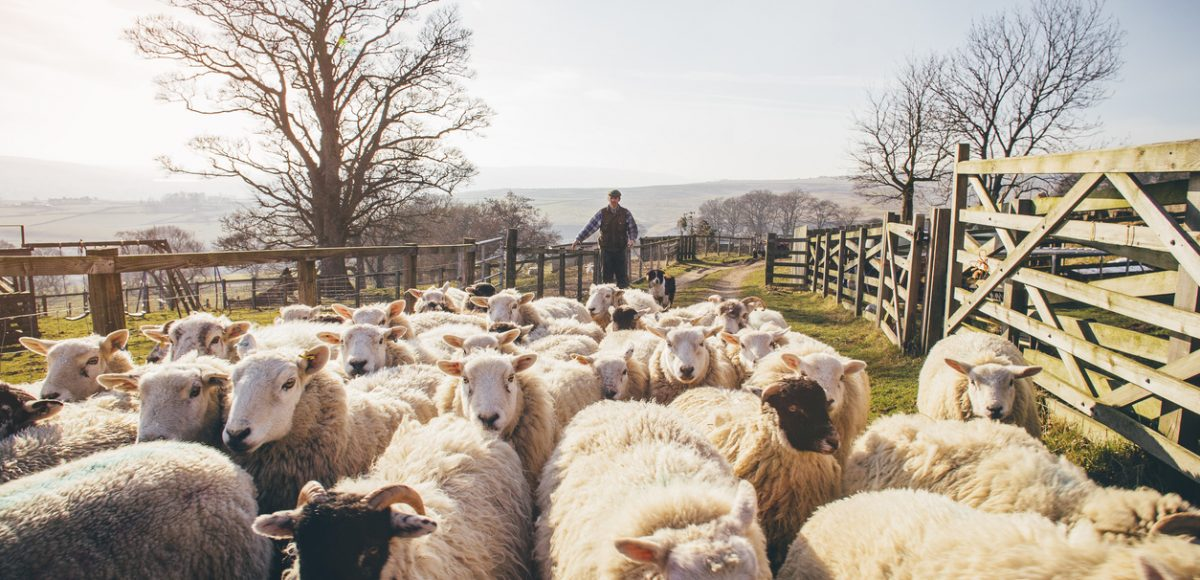 Herding Sheep Busy vs. Productive Shepherding Your Time as a Leader